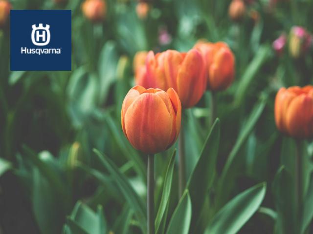 Cómo plantar tulipanes: Todo lo que debes saber