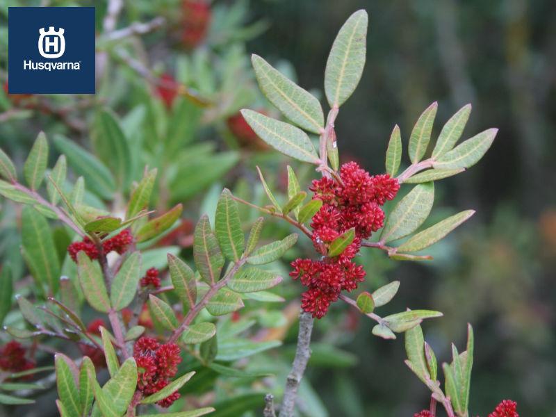 Lentisco, el arbusto con olor a mediterráneo