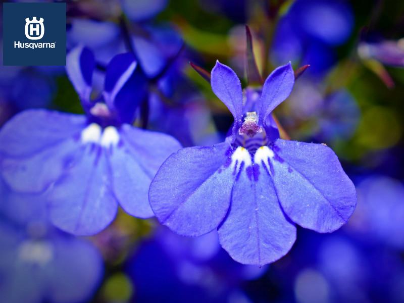 Lobelia, la planta de larga floración