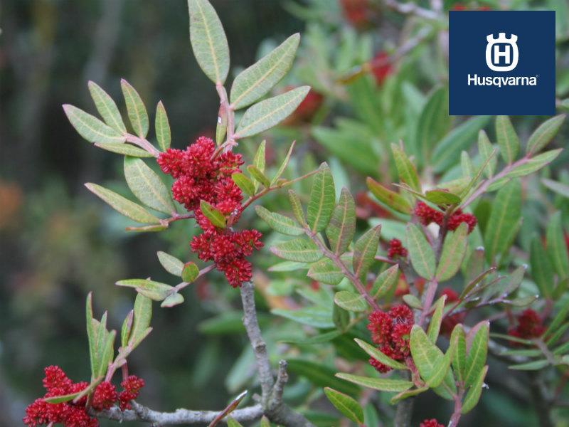 El lentisco, el arbusto con olor a mediterráneo