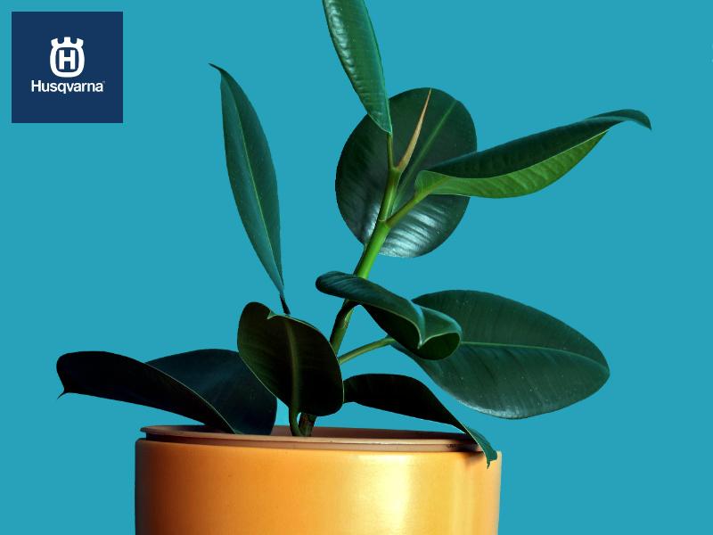 Ficus elastica, el árbol de interior y exterior