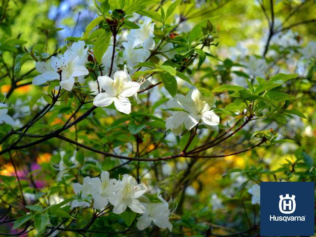 Descubre los arbustos con flores m s populares para - Arbusto pequeno con flores ...