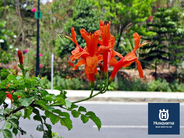 bignonia-planta