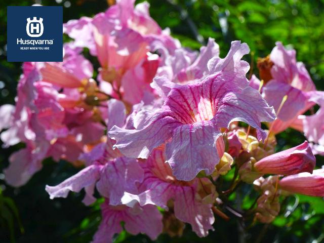 bignonia-rosa