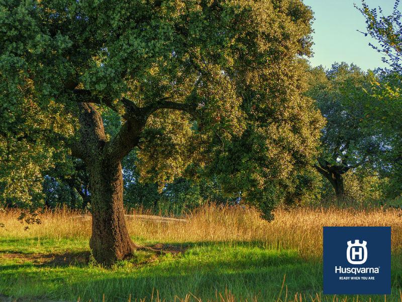 Descubre la encina, el árbol capaz de sobrevivir a condiciones extremas