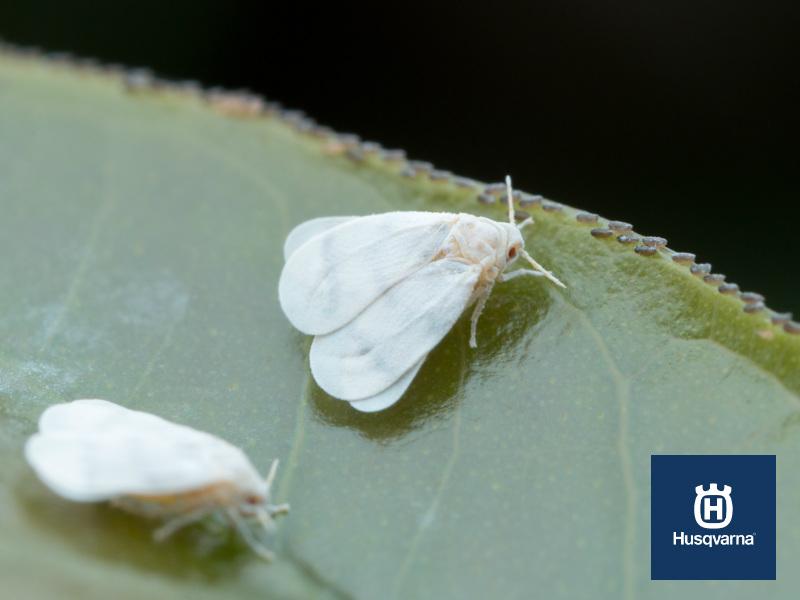 Identificar y erradicar la mosca blanca, la plaga de los cultivos