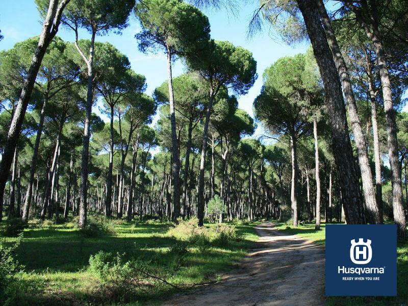 Pino piñonero, el árbol mediterráneo por excelencia