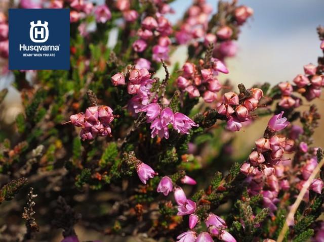calluna-vulgaris-flores-rosas
