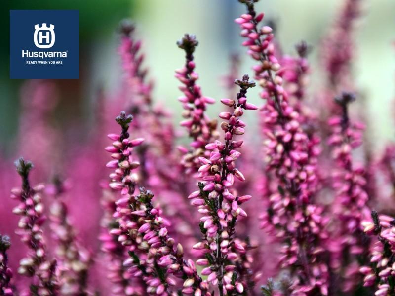 Calluna vulgaris, más que una planta decorativa, una especie resistente